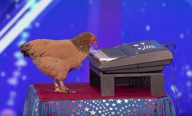 Piyano çalan tavuk herkesi hayrete düşürdü