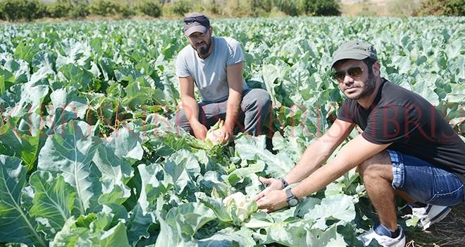 30 bin kök çiçek  lahanası elde kaldı