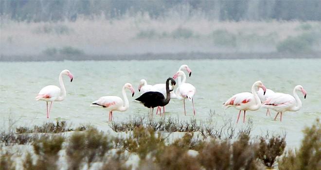 Siyah flamingolar Kıbrıs'ta