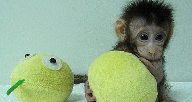 Çin'de bilim insanları iki maymunu klonlamayı başardı