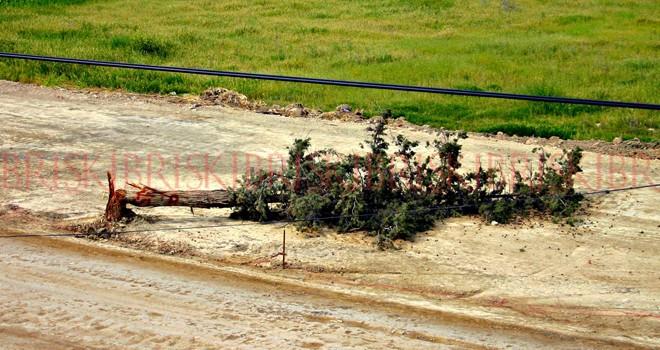 Yol yapacaklar diye ağaçları parçaladılar