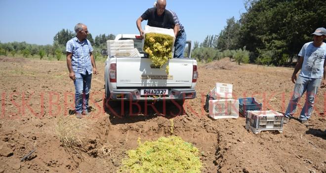 5 ton sultani  üzüm çöp oldu