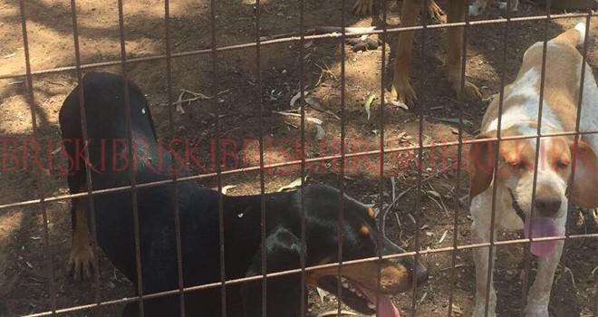 Güneyden çalınan köpekler kuzeyde bulundu: Polis, satanın peşinde!