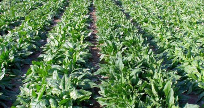 Yerli üretim asma yaprağı ve ıspanakta limit üstü kalıntı tespit edildi