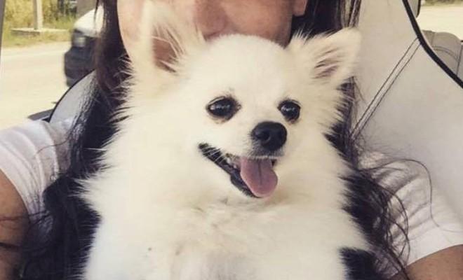 Pomeranian cinsi beyaz köpek kayıp