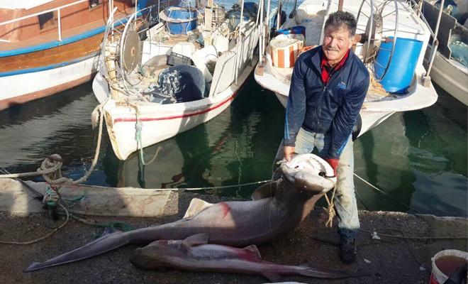 İskele'de ağa köpekbalığı takıldı