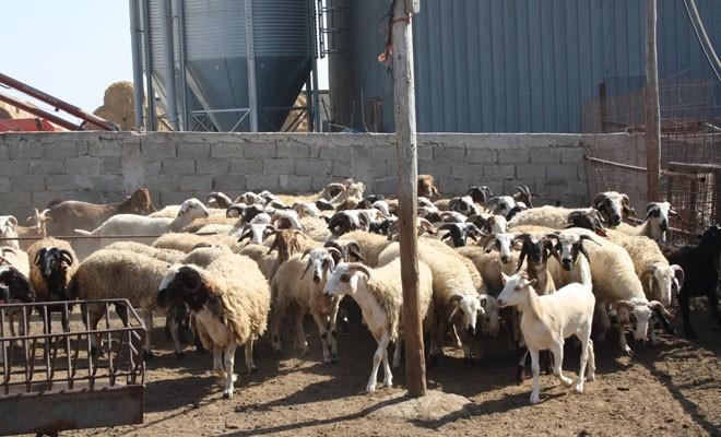 Kasaplık hayvan satışı için ihale açıldı
