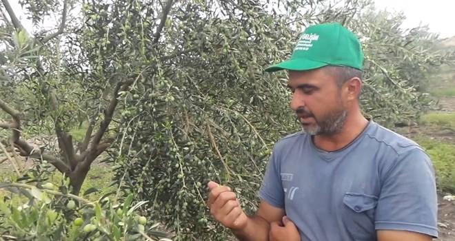 Lefke'de zeytin ve harnup hasadı tarihleri açıklandı