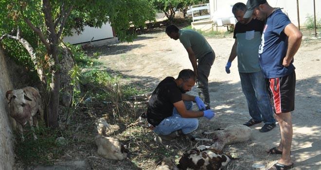 Ziyamet'te başıboş köpekler yine kuzuları parçaladı