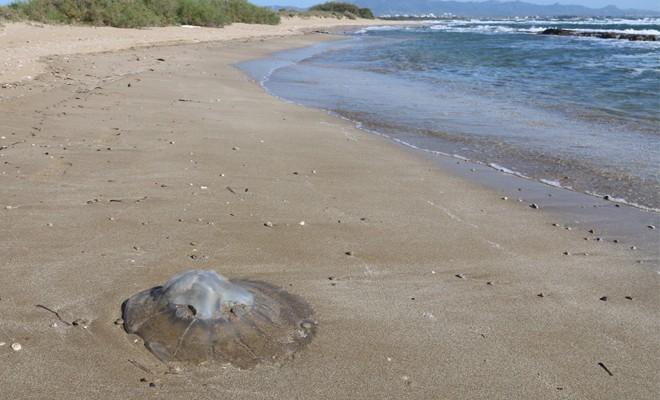 Dev denizanaları sahillerimizde