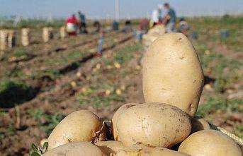 TÜK'ten patates üreticilerine duyuru: 2020 ilkbahar ürünü patates üretici ödemeleri yapılıyor