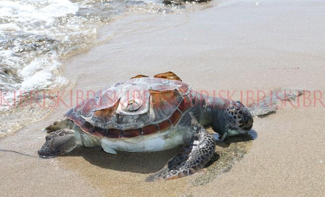 Bu yıl 42'nci ölü kaplumbağa