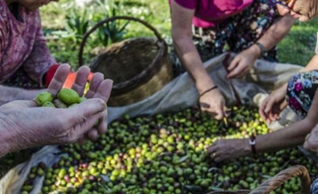 İskele Kaymakamlığı zeytin hasadı tarihlerini açıkladı