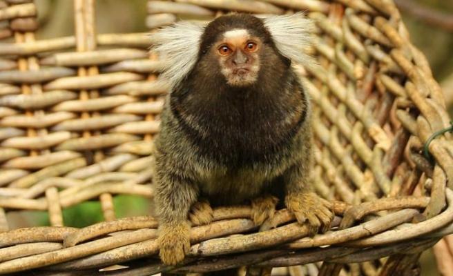 Bilim insanları: Maymunların da şiveleri var