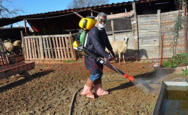 Karpaz'daki hayvanlar karantinaya alındı