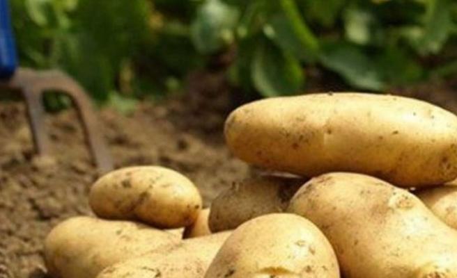 Güney'de tonlarca patates suya gömüldü