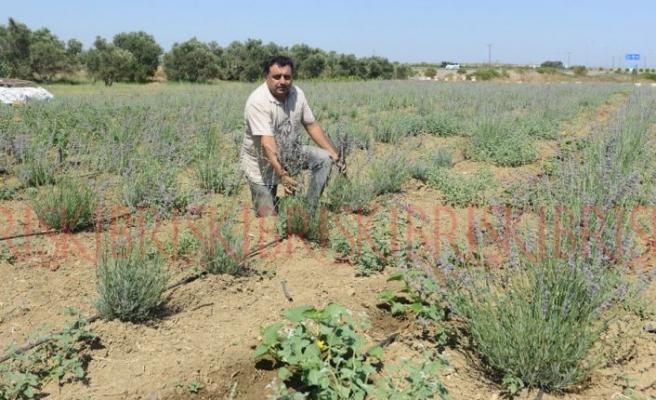 KKTC'nin ilk lavanta bahçesi hasada hazır