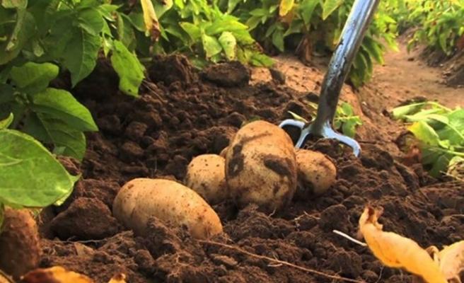 Sonbahar patates beyan alımlarının süresi uzatıldı