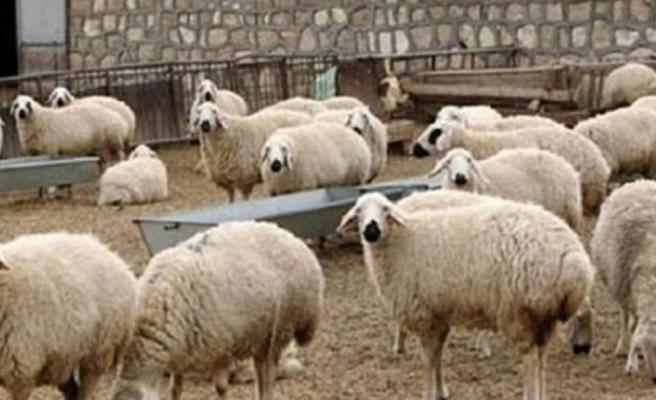 Devlet Üretme Çiftlikerinden Kasaplık hayvan satışı