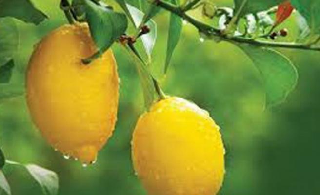 Narenciye ülkesiyiz ama1 kilo limon 20 TL