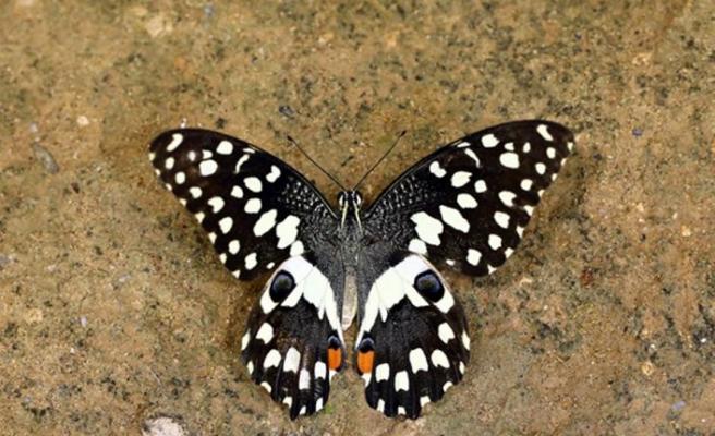 Kıbrıs'ta yeni bir kelebek türü daha görüldü: Nusaybin güzeli