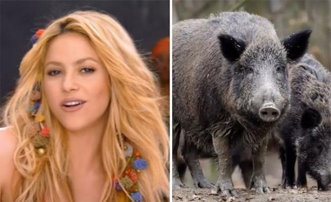 Shakira yaban domuzlarının saldırısına uğradı!