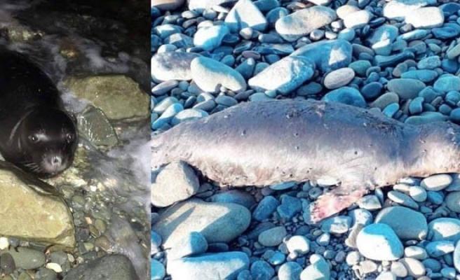 Yavru fokun ölümü ile ilgili Taşkent Doğa Parkı'ndan açıklama