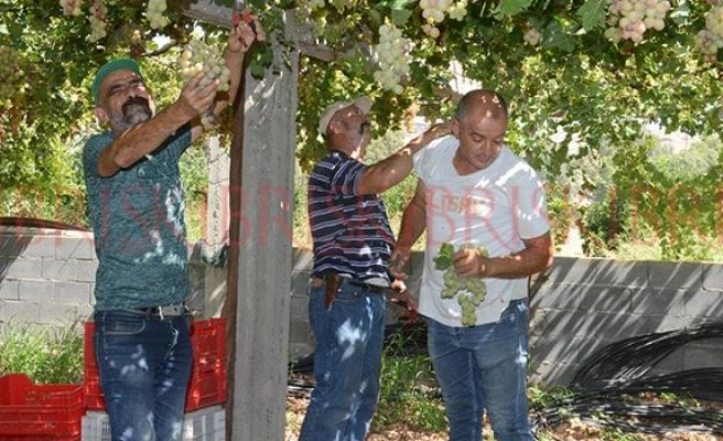 5 ton verigo üzüm imha edildi
