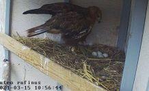 Taşkent Doğa Parkı: Bir çift kızıl şahin yavru çıkarma şansı yakaladı