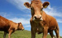 İnsanlarla fazla vakit geçiren sığırların beyinleri daha küçük