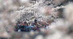 Japonya'da 'Sakura' şöleni