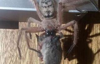 Avcı örümceği küçük bir fare yakaladı !