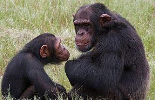İngiltere'de bazı zenginler düğünlerde şempanze...