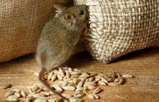 Tarla ve ağıllarda fare istilası