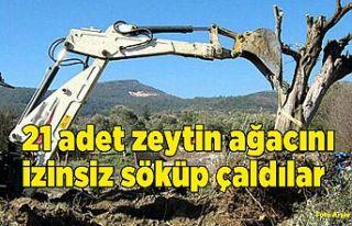 21 Adet zeytin ağacını dozerle söküp çaldıldılar,...