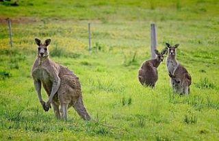 Avustralya'da 20 kanguruyu öldüren zanlı işkenceden...