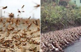 100 bin ördek, çekirgelere karşı