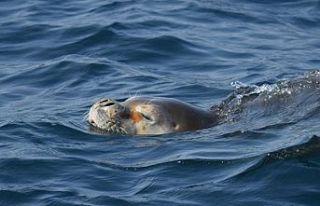 Akdeniz Fokları'nın yaşam alanlarının araştırılması...
