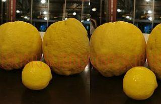 Dev limonlar, herkesi şaşırttı