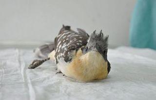 Tepeli guguk kuşu yol kenarından kurtarıldı