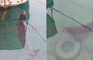 Yenierenköy'de Akdeniz Foku görüldü