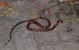 Girne'de bir bahçede bulunan egzotik yılan...