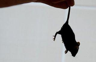 Avustralya'da fare istilası, cezaevini tahliyeye...