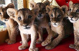 Ankara'da yavru aslanlar Başkentli çocukların...