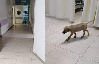 Başıboş köpekler,hastaneye dadandı