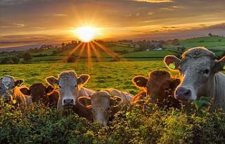 Hollanda, azot salınımını azaltmak için çiftlik...