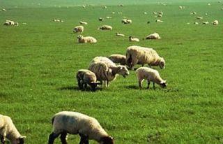 İlaçlanan bölgede hayvan otlatma ve hasat artık...