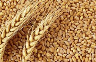 TÜK, tohumluk arpayla buğday satışına başlıyor