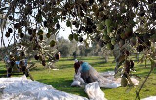Lefke ilçesinde zeytin hasat tarihleri açıklandı