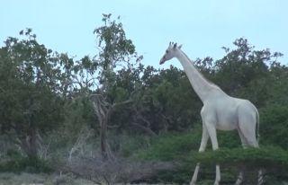 Kenya'da türüne az rastlanan beyaz zürafa görüntülendi